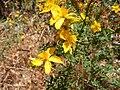 Hypericum perforatum flowers belair park.jpg