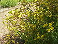 Hypericum tomentosum2.jpg