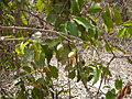 Icacina senegalensis 0001.jpg
