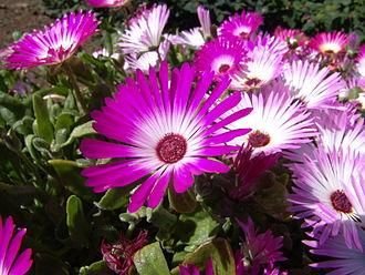 Akureyri Botanical Garden - Flowers in the Akureyri Botanical Garden