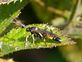 Ichneumon or Diphyus sp - Flickr - gailhampshire (1).jpg