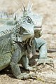 Iguana Iguana iguana (2446948737).jpg