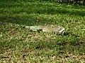 Iguana en el parque.JPG