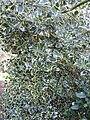 Ilex aquifolium 'Argentea Marginata' (Aquifoliaceae) plant.jpg