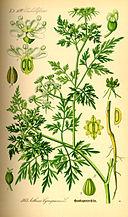 Illustration Aethusa cynapium0