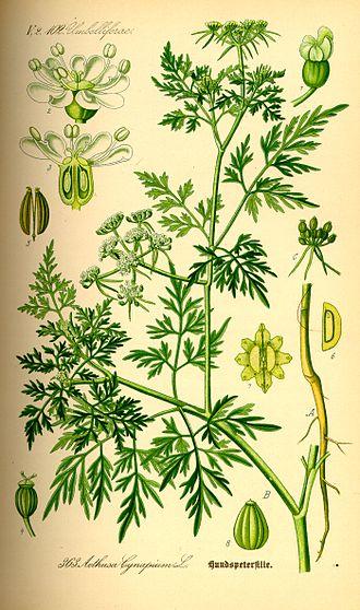 Aethusa cynapium - Image: Illustration Aethusa cynapium 0
