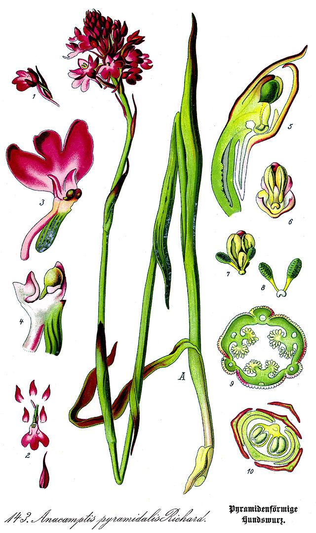 planche botanique de l'orchis pyramidal