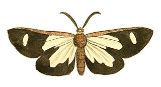 <i>Pitthea famula</i> species of insect