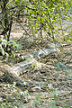 Indian python Python molurus (2154444643).jpg