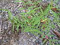 Indigofera linifolia plant2 (11139604383).jpg