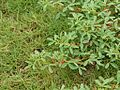 Indigofera trifoliata mitubakmtng02.jpg