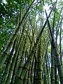 Indonesian Bamboo Trees 01.jpg