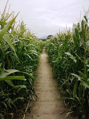 Corn maze - A view from inside a corn maze near Christchurch, New Zealand