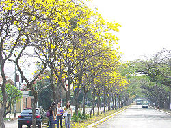Row of yellow tabebuia trees in one of Barão Geraldo's avenues