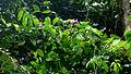 Ipomoea batatoides Choisy (15535738729).jpg