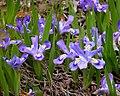Iris lacustris fws.jpg