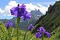 Iris latifolia-Lac Aule-Laruns-2522~2013 07 29.JPG