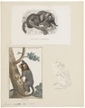Jacchus vulgaris - 1700-1880 - Print - Iconographia Zoologica - Special Collections University of Amsterdam - UBA01 IZ20200003.tif