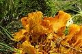 Jack-o'-Lantern Mushroom - Omphalotus olearius (43883201534).jpg