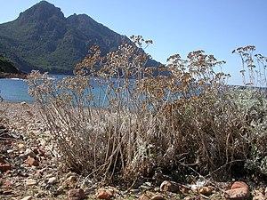Sazan Island - Image: Jacobaea maritima