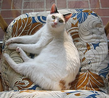 A show-quality female Japanese bobtail looks a...