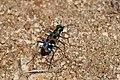 Japanese tiger beetle (Cicindela chinensis ssp. japonica) (21588840535).jpg