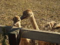 Jasnogorodka ostrich farm4.jpg