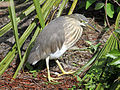Javan Pond Heron RWD.jpg