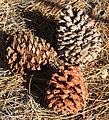 Jeffrey pine Pinus jeffreyi cones.jpg