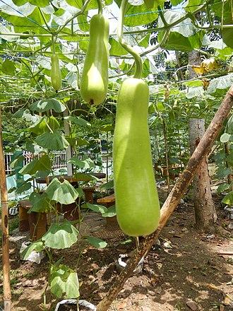 Calabash - Image: Jf Pasong Bangkal 8236San Rafaelfvf 23