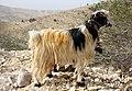 Jordanien-Berg Nebo-28-Ziege-2010-gje.jpg
