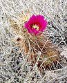 Joshua Tree National Park - Hedgehog Cactus (Echinocereus engelmannii) - 19.JPG