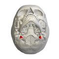 Jugular process of occipital bone03.png