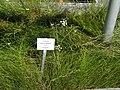 Juncus gerardii - Botanical Garden, University of Frankfurt - DSC02695.JPG