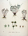 Juncus pygmaeus — Flora Batava — Volume v20.jpg