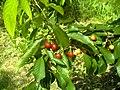 June Flower ^ Cherry Farming Endingen Kaiserstuhl - Master Seasons Rhine Valley Photography 2013 - panoramio (24).jpg