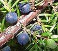 Juniperus communis200509 060.jpg