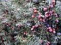 Juniperus oxycedrus MatureFruits SierraMadrona.jpg