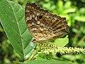 Junonia lemonias - Lemon Pansy 30.jpg