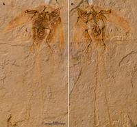 Junornis
