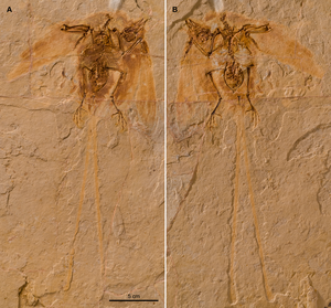 Junornis - Slab and counterslab of the holotype specimen