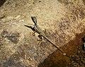 Juvenile Basilisk Lizard (Basiliscus basiliscus) - Flickr - gailhampshire (1).jpg