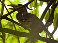 Juvenile Tickells Brown Hornbill (Anorrhinus tickelli) in tree.jpg