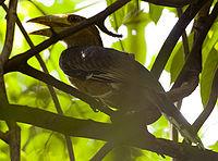 Juvenile Tickells Brown Hornbill (Anorrhinus tickelli) in tree