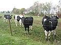 Kühe bei Lampaden.jpg