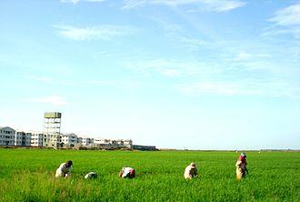 Kalmunai - Image: Kalmunai Paddy Fields