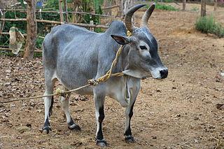 Kangayam cattle Indian breed of cattle
