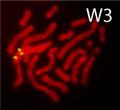 Karyotype of Schistosoma mansoni.png