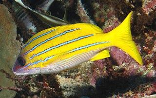 <i>Lutjanus</i> genus of fishes
