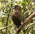 Kea (Nestor notabilis) -South Island -NZ-8.jpg